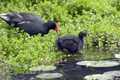 Cub of common gallinule next to his mother Royalty Free Stock Photography