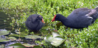Cub of common gallinule next to his mother Stock Photo