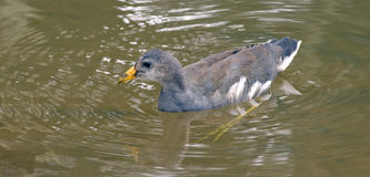 Cub of common gallinule wimming in the lake Royalty Free Stock Photos
