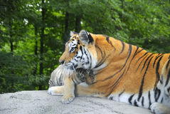 Cub cuddling with mom tiger. Cub cuddling with tigress, in front of a green canopy stock photo
