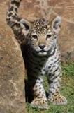 Cub curioso del giaguaro Immagine Stock