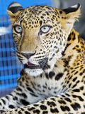 A Leopard cub in captivity in Thailand royalty free stock images