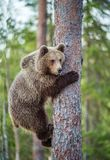 CUB d'ours de Brown s'élèvent sur l'arbre photos stock