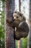 CUB d'ours de Brown s'élèvent sur l'arbre Photo libre de droits
