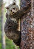 CUB d'ours de Brown s'élèvent sur l'arbre Photos stock