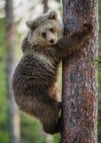 CUB d'ours de Brown s'élèvent sur l'arbre Photographie stock libre de droits