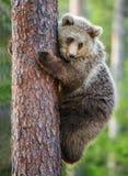 CUB d'ours de Brown s'élèvent sur l'arbre Images libres de droits
