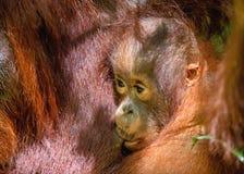 CUB, das Milch von Orang-Utan Mutter saugt Stockbild