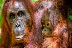 CUB, das Milch von Orang-Utan Mutter saugt Lizenzfreie Stockbilder