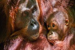 CUB, das Milch von Orang-Utan Mutter saugt Stockfotos