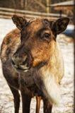 Cub deer Royalty Free Stock Photo