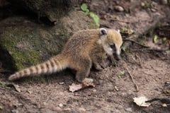 Cub del Coati Fotografia Stock