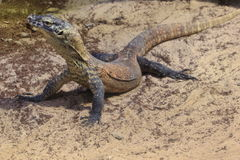 Cub del drago di Comodo Fotografia Stock Libera da Diritti