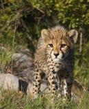 Cub del ghepardo immagini stock libere da diritti