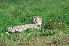 Cub del ghepardo con i fiori Immagine Stock Libera da Diritti