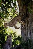 Cub del ghepardo di Jumpin, Masai Mara Fotografie Stock