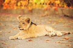 Cub del leone che si trova sulla terra Fotografia Stock Libera da Diritti