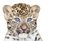 Cub del leopardo Immagine Stock Libera da Diritti