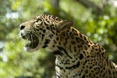 Cub del leopardo Fotografie Stock