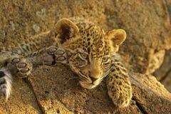 Cub del leopardo immagine stock