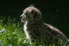 Cub del leopardo di neve Fotografie Stock