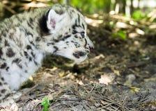 Cub del leopardo di neve Fotografie Stock Libere da Diritti