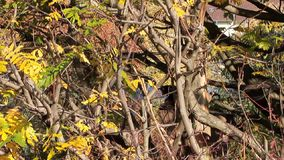 Cub del mono sacudió ramas de árbol Frankfurt-am-Main, Alemania almacen de video