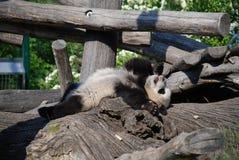 Cub del panda Fotografia Stock