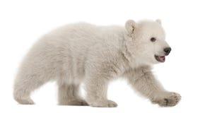 Cub dell'orso polare, maritimus del Ursus, 3 mesi Fotografie Stock