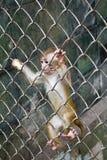 Cub della scimmia in una gabbia Immagini Stock
