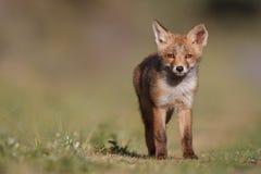 Cub della volpe rossa Immagini Stock Libere da Diritti