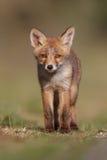 Cub della volpe rossa Fotografia Stock Libera da Diritti