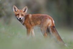Cub della volpe rossa Fotografia Stock