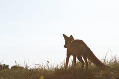 Cub della volpe rossa Immagine Stock