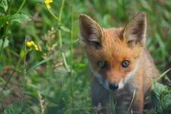 Cub della volpe rossa Fotografie Stock Libere da Diritti