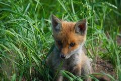 Cub della volpe rossa Fotografie Stock