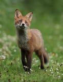 Cub della volpe rossa Immagine Stock Libera da Diritti