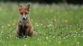 Cub della volpe rossa Immagini Stock