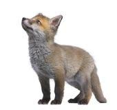 Cub della volpe rossa che osserva in su (vecchio 6 settimane) - il vulpe del Vulpes Fotografia Stock