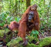 CUB des Orang-Utans auf Mutter ` s Rückseite im grünen Regenwald Lizenzfreie Stockbilder