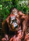 CUB des Orang-Utans auf Mutter ` s Rückseite im grünen Regenwald Stockfotos