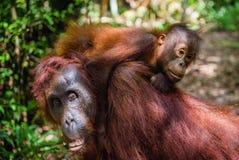 CUB des Orang-Utans auf Mutter ` s Rückseite im grünen Regenwald Lizenzfreie Stockfotos