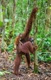 CUB des Orang-Utans auf Mutter ` s Rückseite im grünen Regenwald Stockfotografie