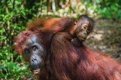 CUB des Orang-Utans auf Mutter ` s Rückseite im natürlichen Lebensraum des grünen Regenwaldes Lizenzfreie Stockfotos
