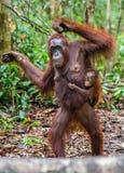 CUB des Orang-Utans auf Mutter ` s Rückseite im natürlichen Lebensraum des grünen Regenwaldes Stockfotos