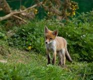 Cub di Fox rosso Fotografia Stock