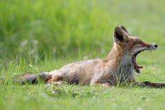 Cub di Fox rosso Fotografie Stock Libere da Diritti