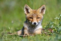 Cub di Fox rosso Immagini Stock Libere da Diritti