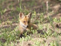 Cub di Fox su una traccia della foresta, osservante al lato. Fotografia Stock