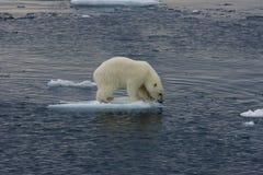 Cub di galleggiamento dell'orso polare prima del salto 3 Fotografia Stock
